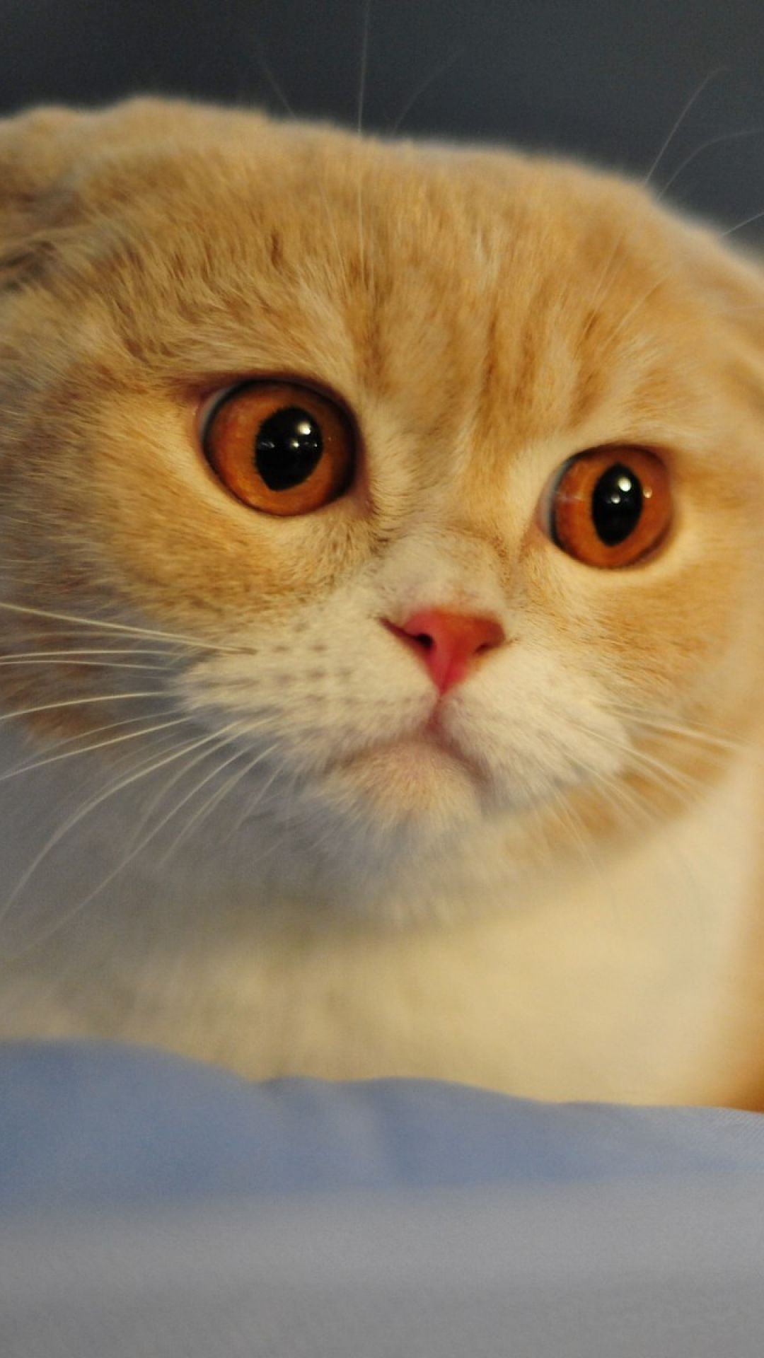 Scottish Fold Cat Breed Macro Face Nose Eyes Ears iPhone 6