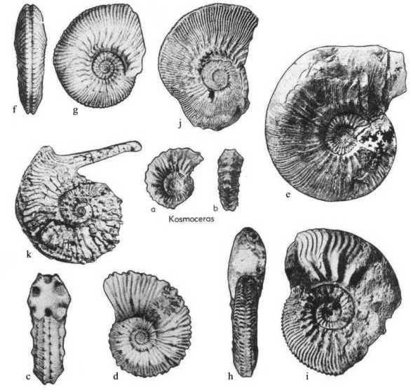 genre Kosmoceras