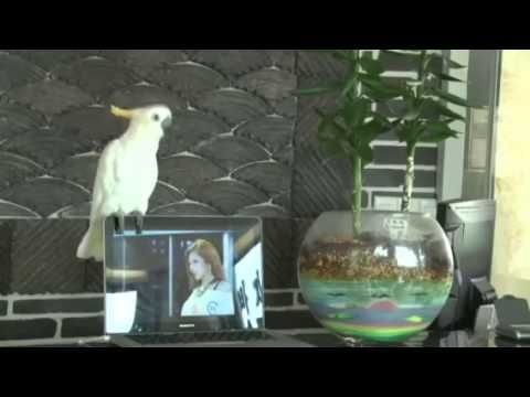 Cacatúa canta el Gangnam Style