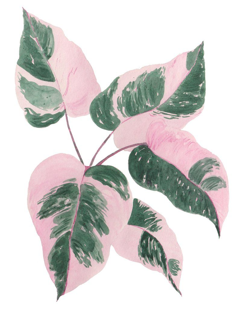 New philodendron pink princess plant w pink green