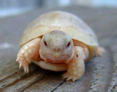 Albino baby turtle its so cuteeeeee