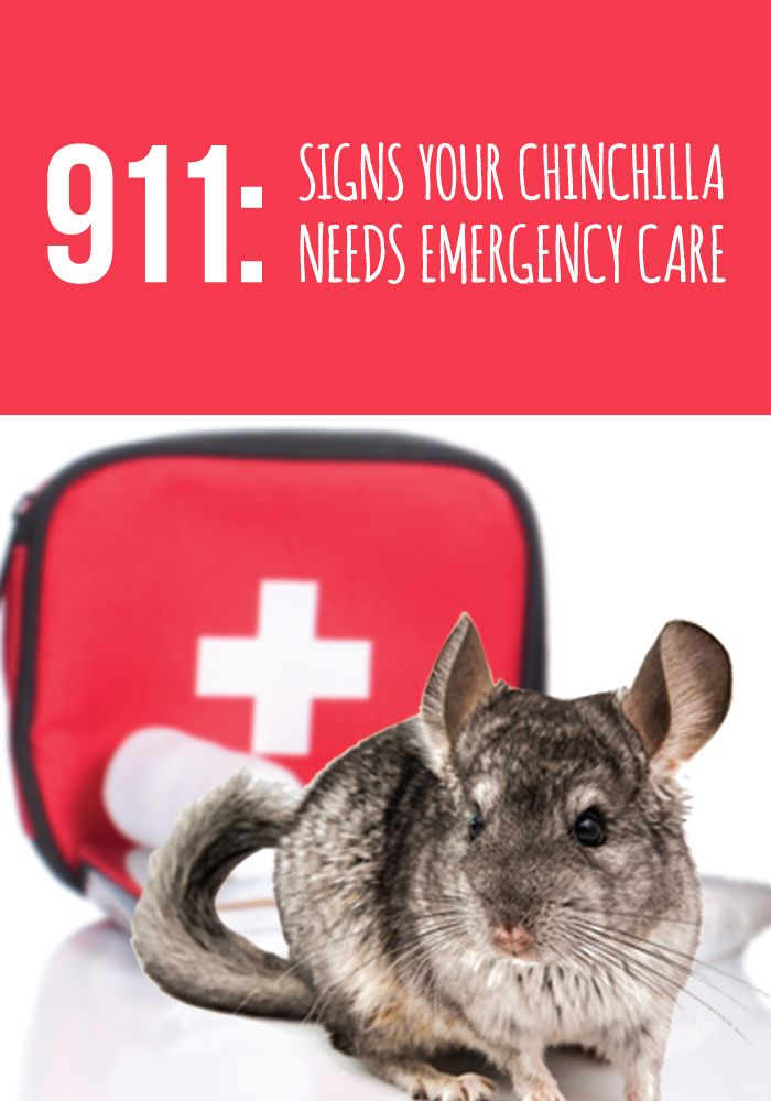 Signs Your Chinchilla Needs Emergency Care Chinchilla Pet