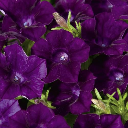 Blanket Velvet Midnight Petunia Hybrid Proven Winners Petunias Flower Seeds Purple Plants
