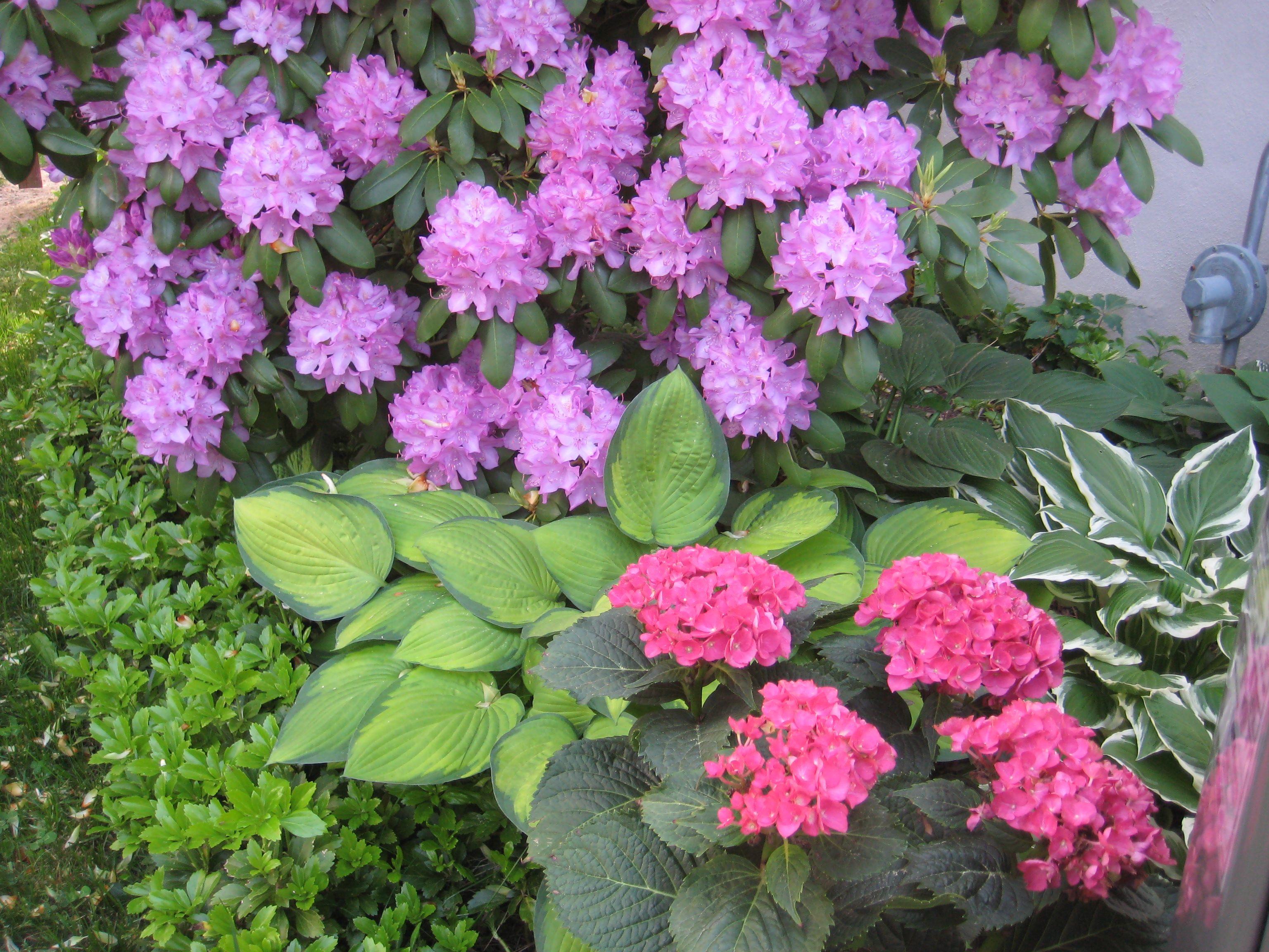 Rhododendron And Hydrangeas Landscape Decor Diy Backyard Design Garden Design