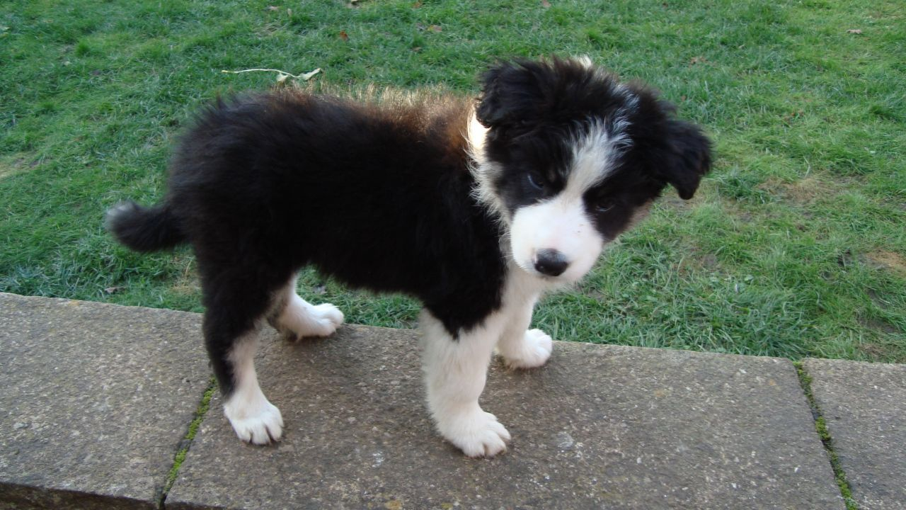 Border Collie Pup Girl 8 Weeks Old