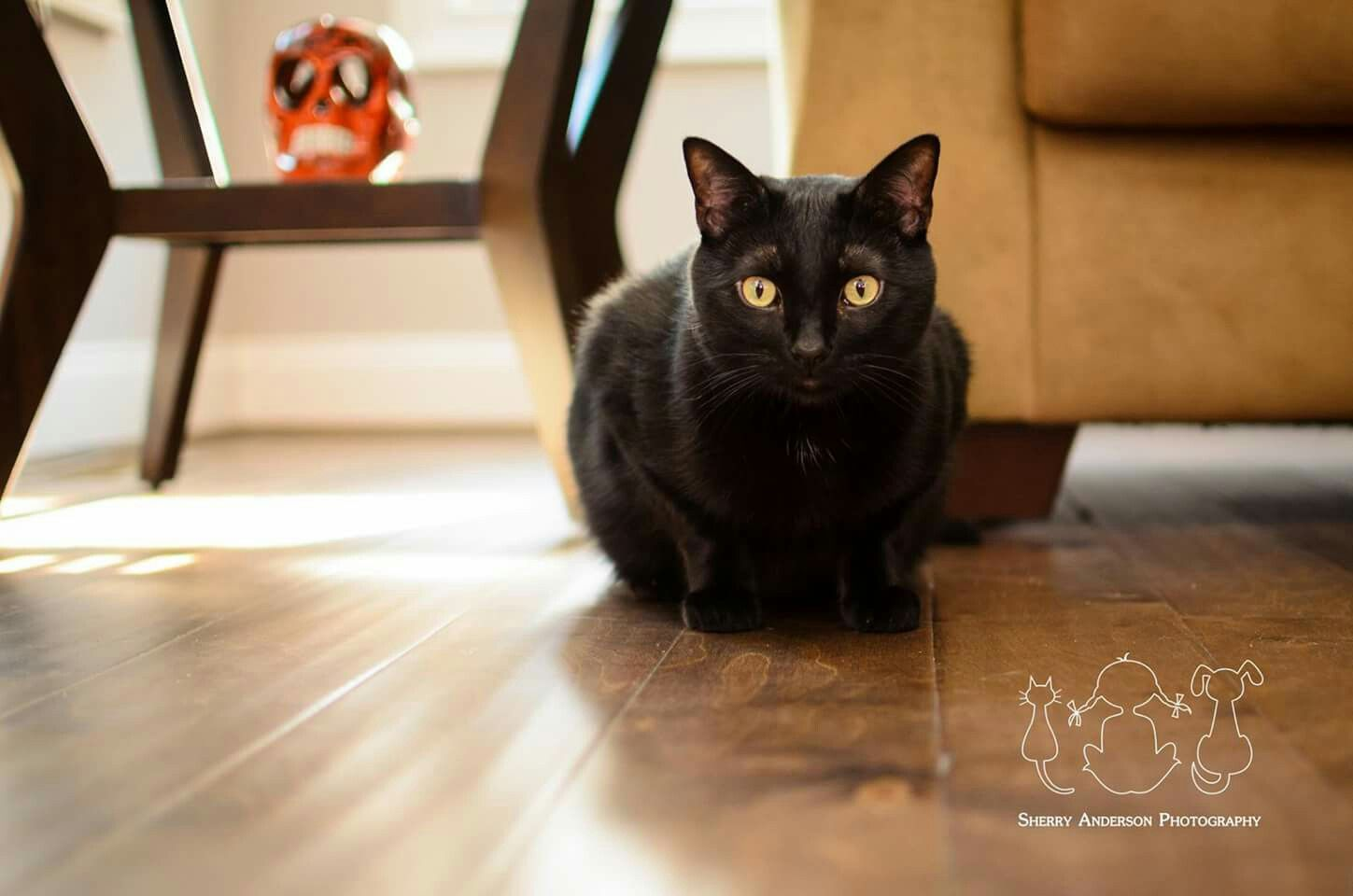 Portrait of a black cat. Book your session today at www