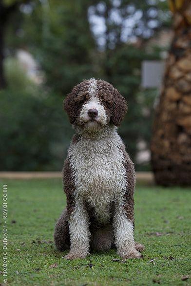 Dog Breeds S Spanish Water Dog Page 2 Spanish Water Dog