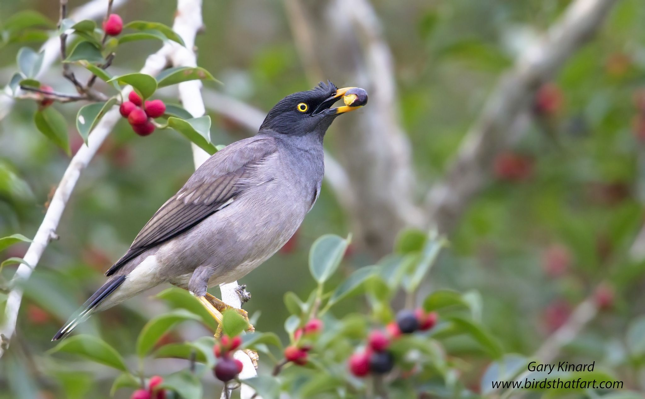 Jungle Myna (Acridotheres fuscus) | Bird