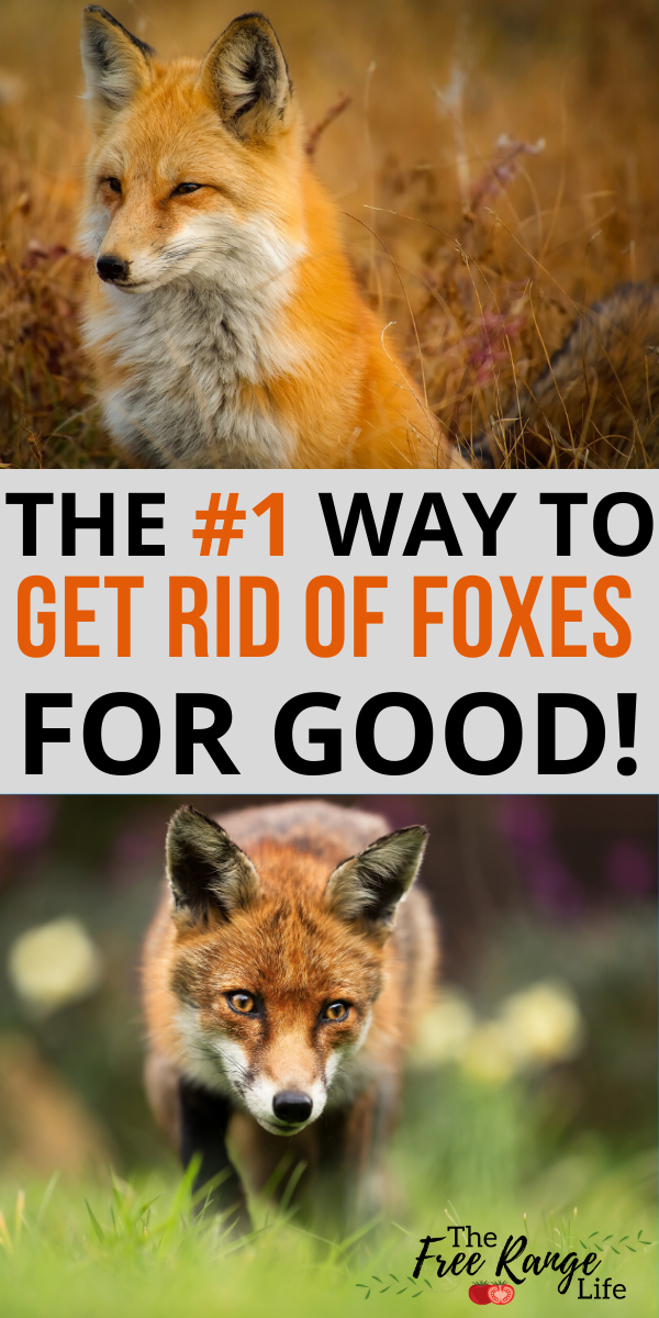 The Number 1 Way To Get Rid Of Foxes For Good Pet Chickens Raising Backyard Chickens Chickens Backyard