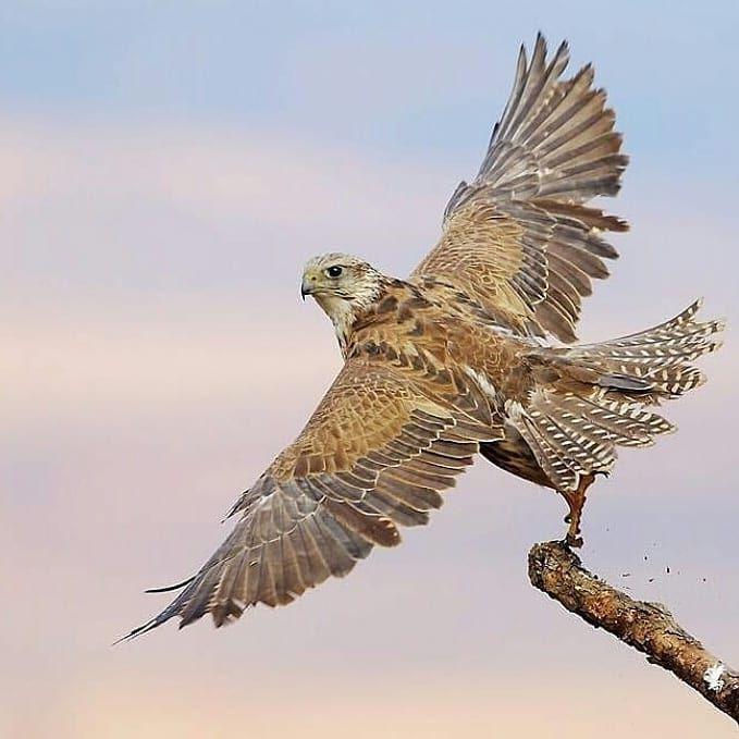 Falcon Falconry Doha Qtr Qatar Gyr Peregrine Birds Hunting Kuwait Bahrain Souqwaqif Shaheen Eagle Dubai Uae Althani Alma Falconry Animal Pictures Animals