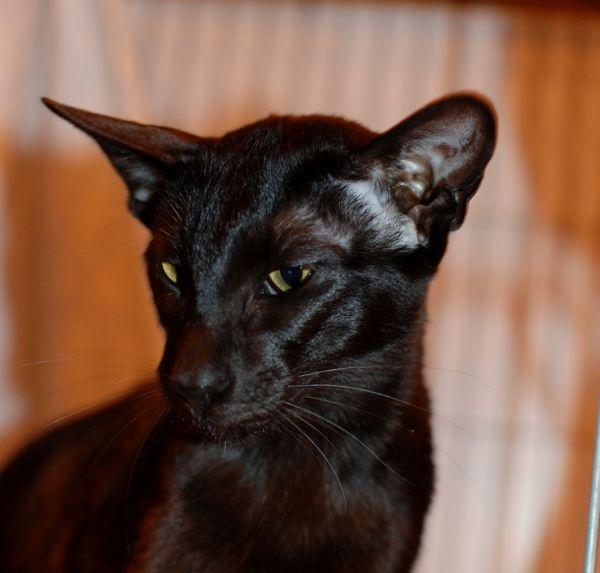 Siamese Cat Siamese Cats Siamese Cat Breeders Black Siamese Cat