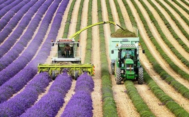 82400_lavenderfieldsflowerweb4.jpg