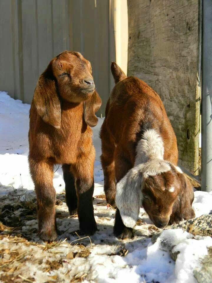 See more Baby Beautiful  Boer goats http://www.cuteanimalworld.net/