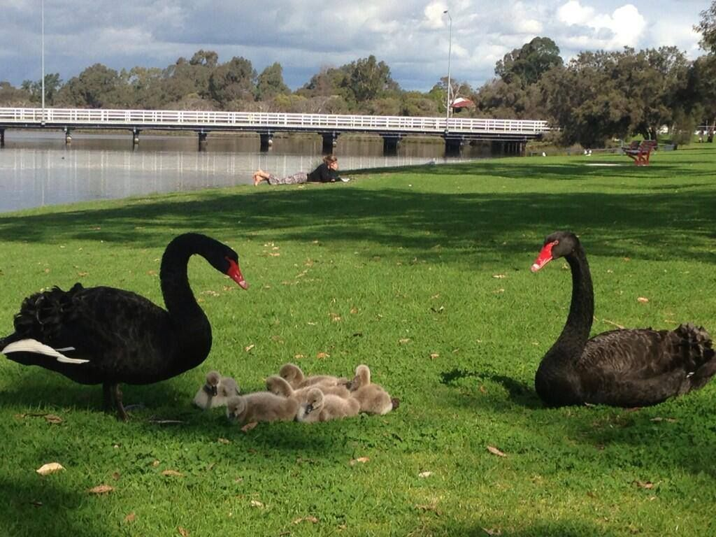 Black Swans & Family by the river, Bayswater. Perth. Western Australia