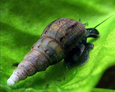 Ikan Hewan Pemakan Algae Untuk Aquascape Aquarium Snails Snail Freshwater Aquarium