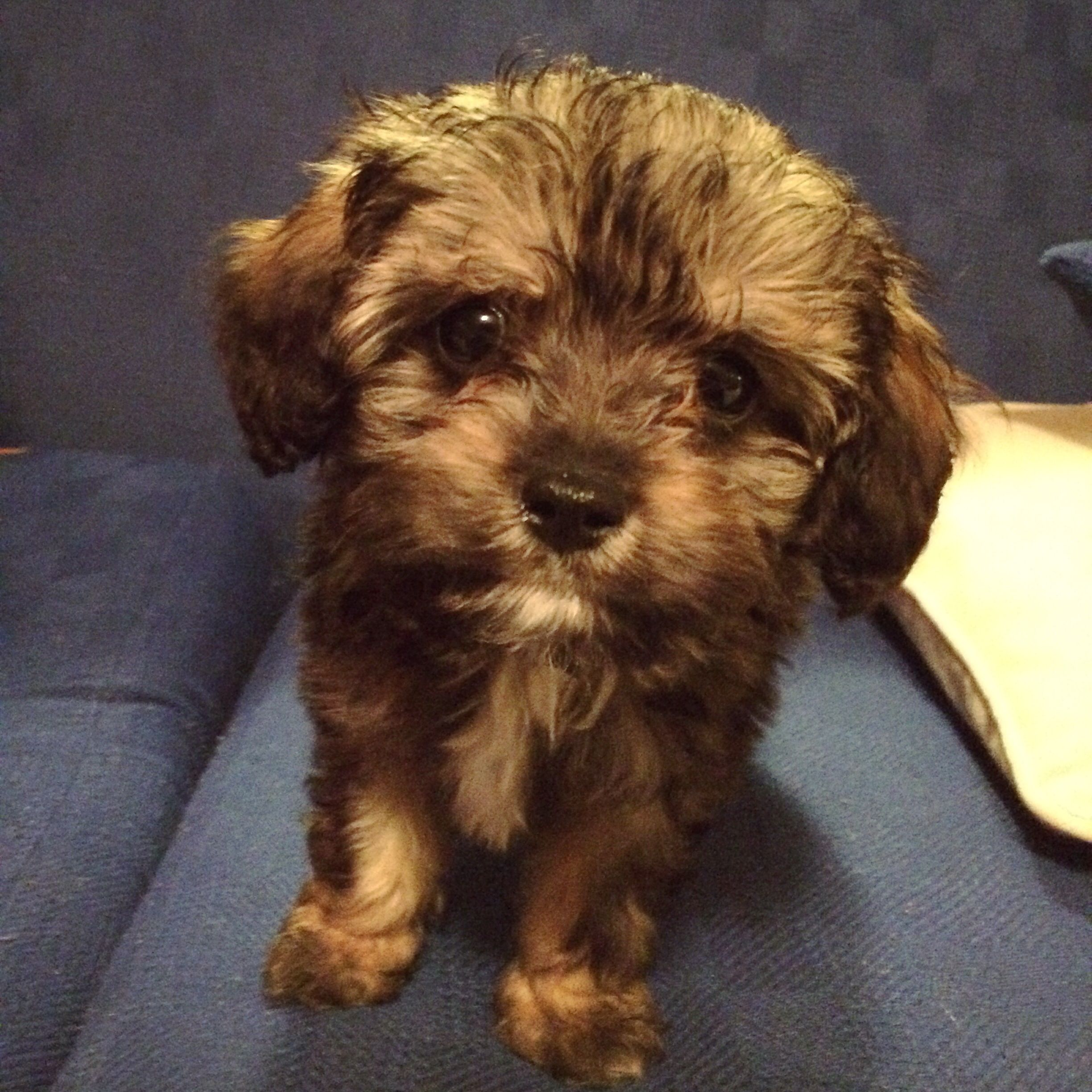 Fenton, a cavoodle, at eight weeks. My gorgeous baby boy. xx