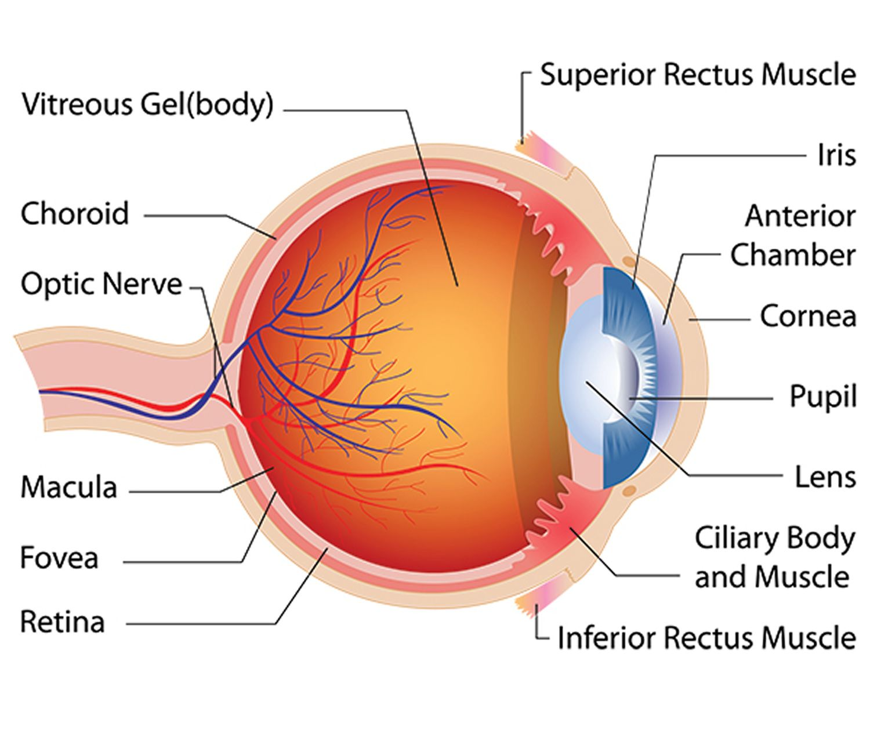 Eye Disease And Eye Problems Common And Rare Diabetic Thyroid Eye Anatomy Anatomy Macular Degeneration