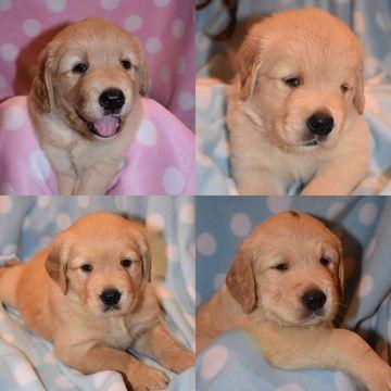 Litter Of 4 Golden Retriever Puppies For Sale In Brenham Tx Adn