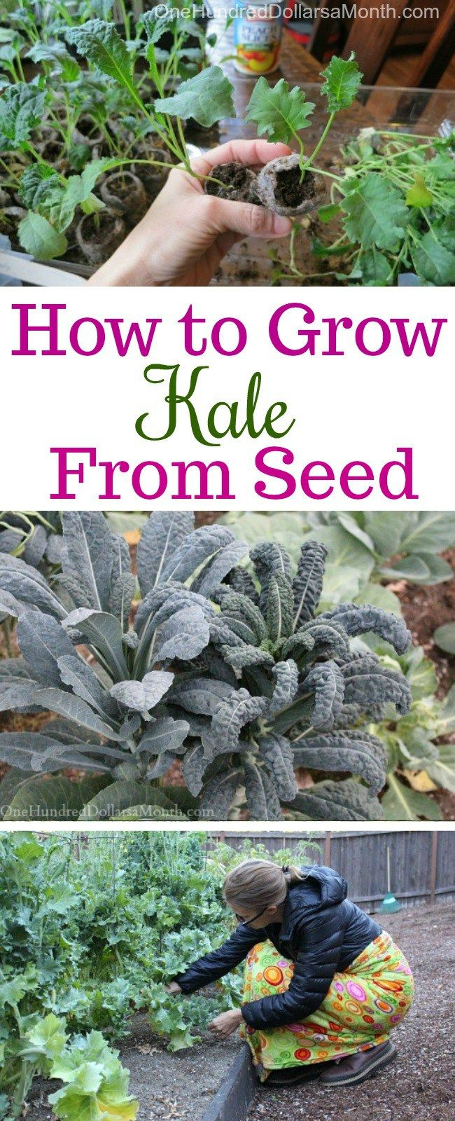 Dig For Your Dinner Growing Kale From Seed With Images