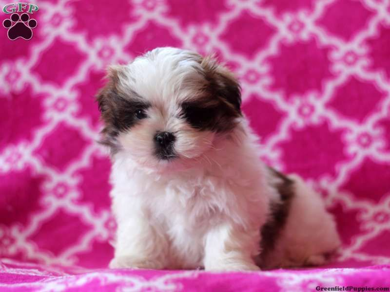 Page Not Found Puppies For Sale Designer Dogs Breeds Puppies