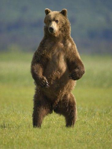paul-souders-brown-bear-standing-upright-in-meadow-at-hallo-bay.jpg (366×488)
