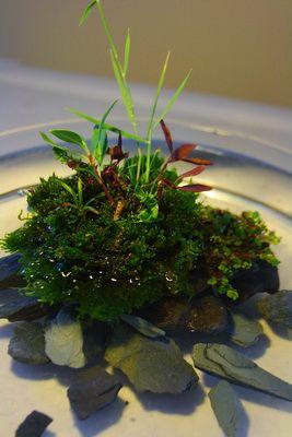 mini wabi kusa garden aquarium pinterest sous verre bonsa et jardinage. Black Bedroom Furniture Sets. Home Design Ideas