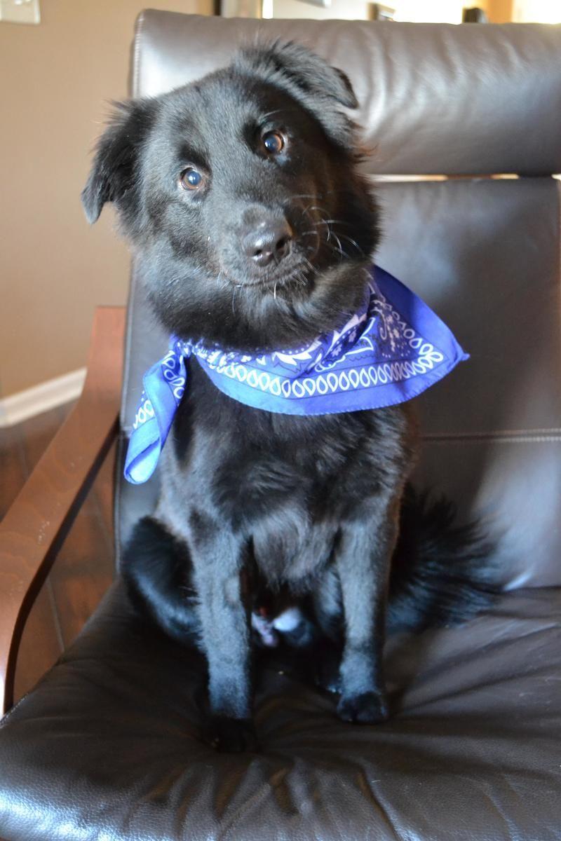 Adopt Tripp On Rottweiler Puppies Dog Love Adoption
