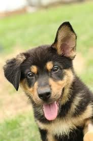 German Shepherd Puppy German Shepherd Mix Puppies Cute German