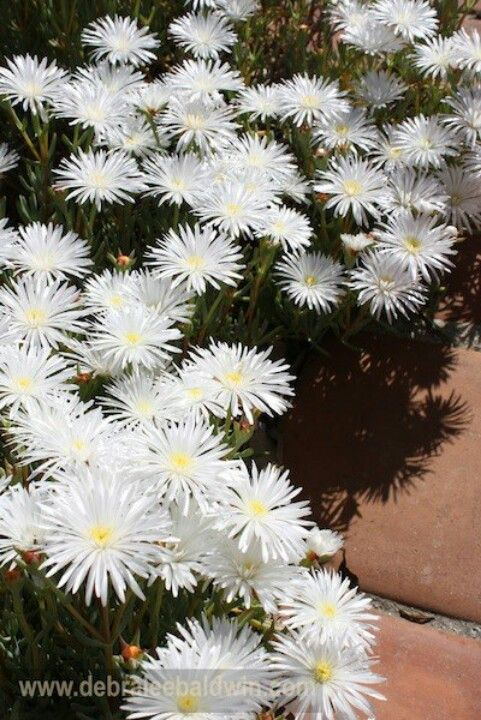White Aster Like Petals Of Ice Plant Summer Flowers Garden Plants Ice Plant