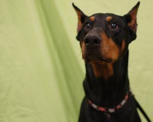 Adopt Dakota On Dogs Doberman Pinscher Dog Doberman Pinscher