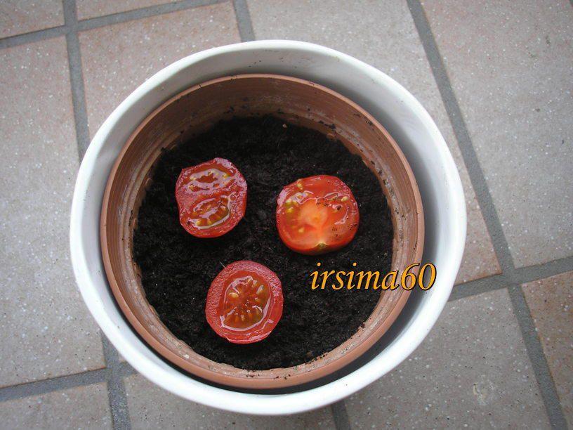 Tomatenpflanzen selber ziehen aus frischen Tomaten - Tipp #tomatenpflanzen