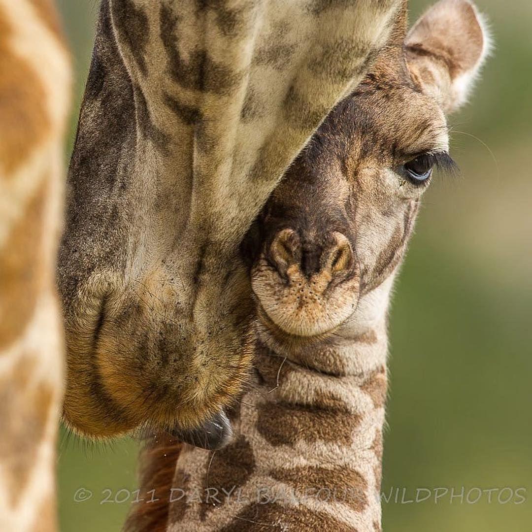 Giraffes Animal Photography Photography African Elephant