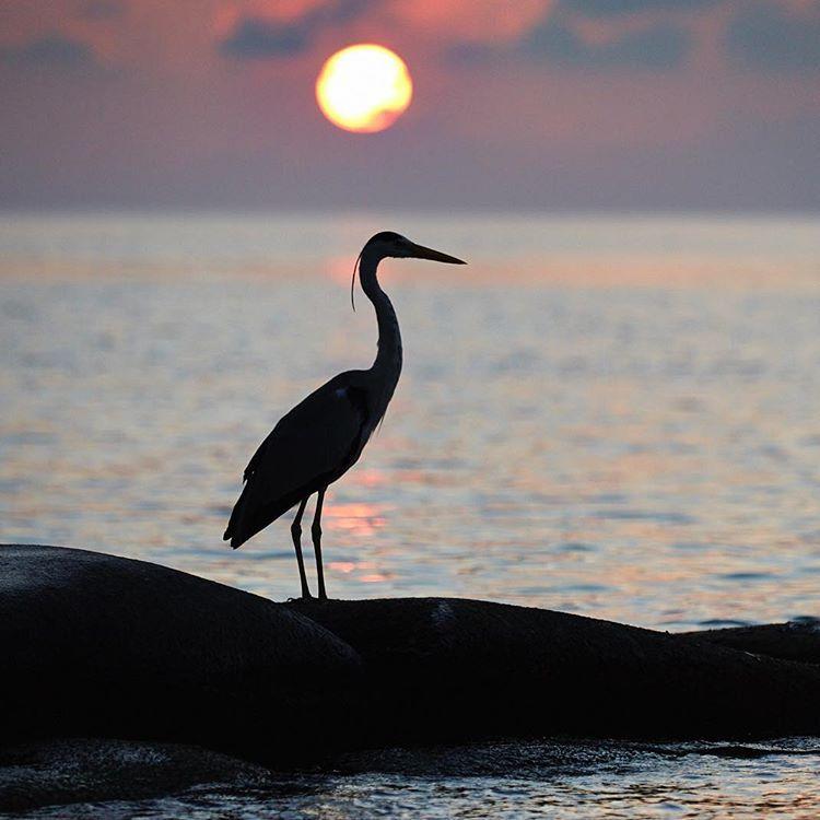 "32 Me gusta, 5 comentarios - Vilmos Vincze (@vilmosvincze) en Instagram: ""Morning Meditation #greyheron #heron . . . #bird #birds #bestbirds #instabirds #birdphotos…"""