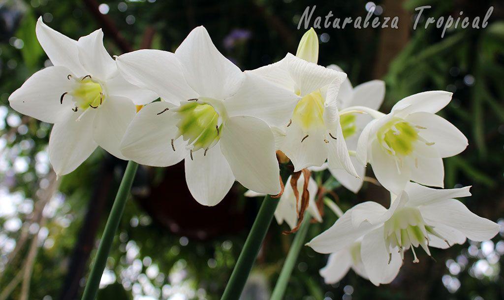 0c2257d122d3 Flores del Lirio del Amazonas