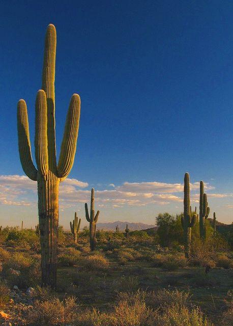 Saguaro Cactus Amp Sunset View Of White Tank Mountain