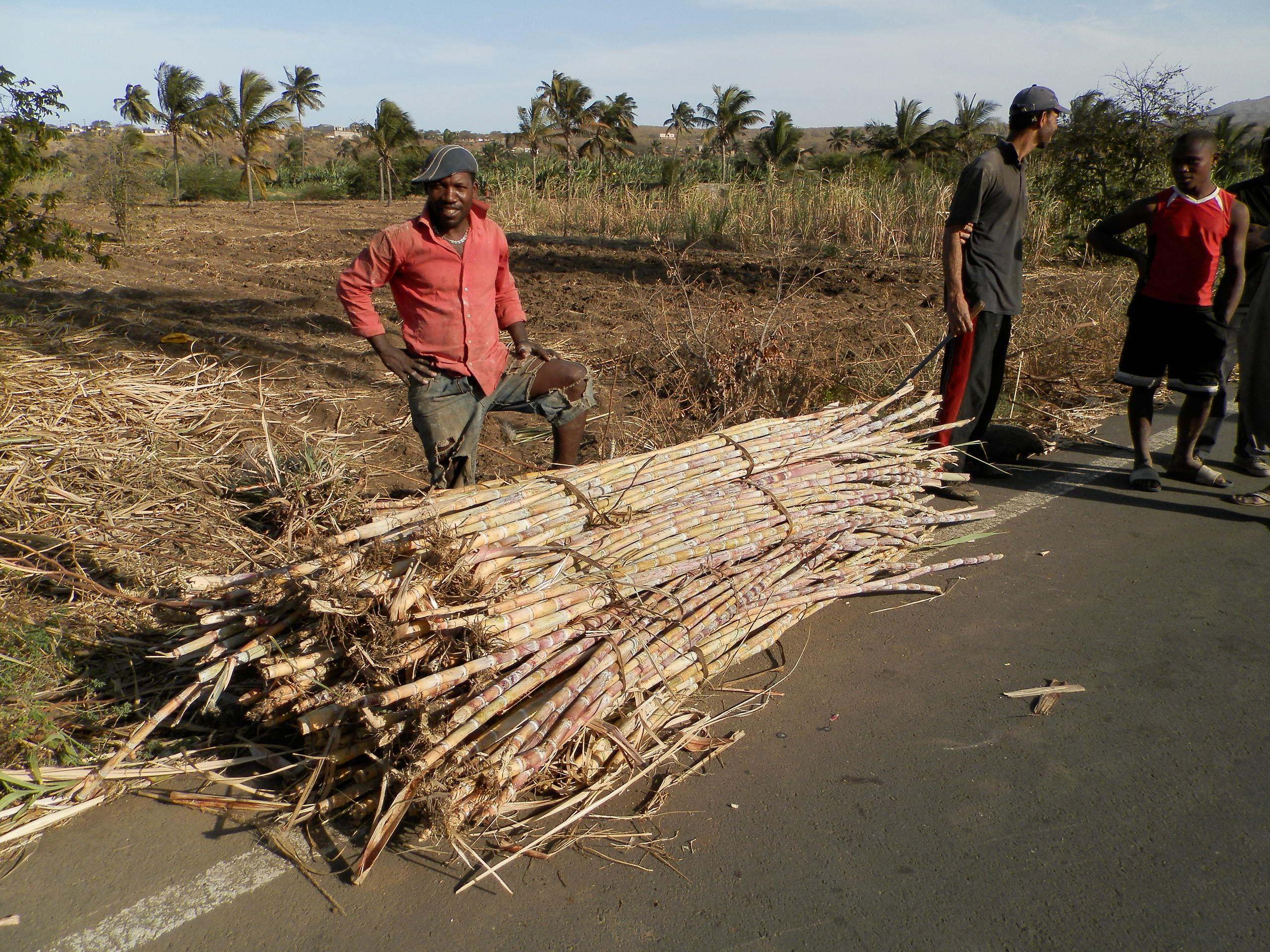 La ramasse de la canne à sucre. En attendant le pick-up pour ramener a la distillerie. Vers Pedra Badejo - Santiago - Cap Vert.