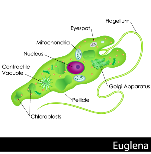 Euglena Cell Parts Biology101 Study Guide Science For Secondary