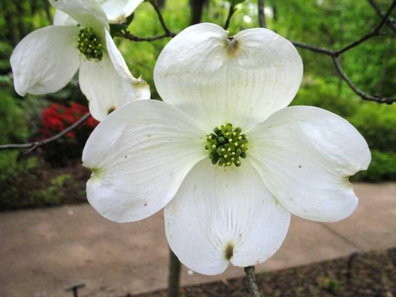 Cornus Florida Cloud Nine Plant Finder Plant Finder Plants Bloom Blossom