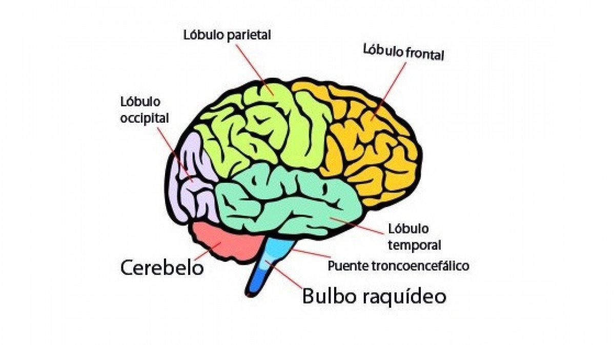 Partes Del Cerebro Humano Y Funciones Partes Del Cerebro Humano Lobulos Del Cerebro Cerebro Humano