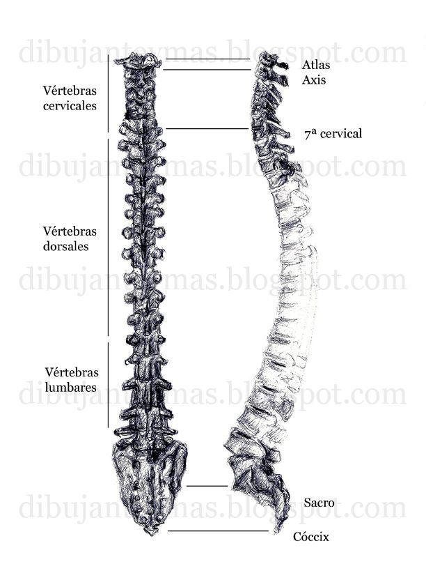 Dibujo columna vertebral para publicación médica, tinta sobre papel ...