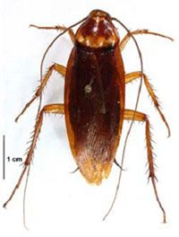 American Cockroaches Palmetto Bugs Cockroaches Exterminator