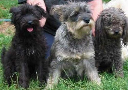Schnoodle Schnauzer Poodle Schnoodle Schnoodle Puppy Schnoodle Puppies For Sale
