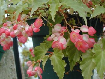 Begonia Tiny Gem Miniature Trailer With Constant Clusters Of Deep Pink Flowers Small Crisp Pointed Light Green Leaves Begonia Rhizome House Plants