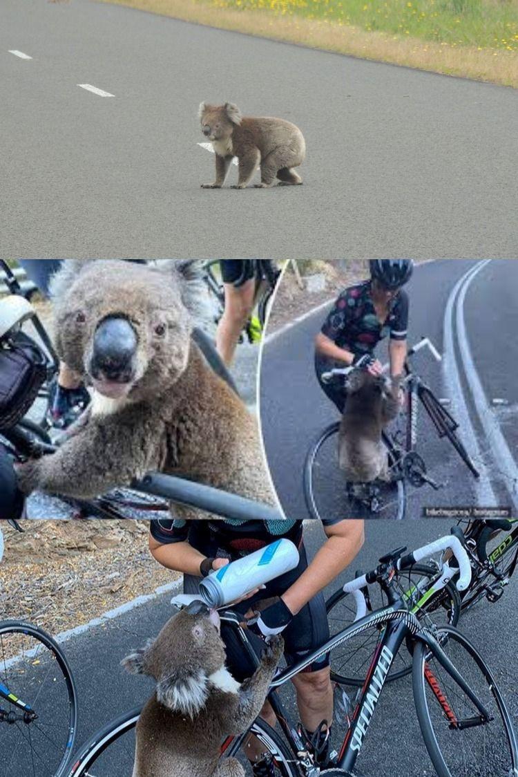 How Australia's Koala Hospital is dashing to save animals