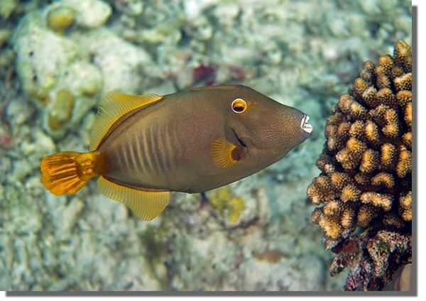 Yelloweye Filefish approaching the coral reef, ready to feast on the corals, its vibrant yellow eye and fins shining out from the muted reef colours.
