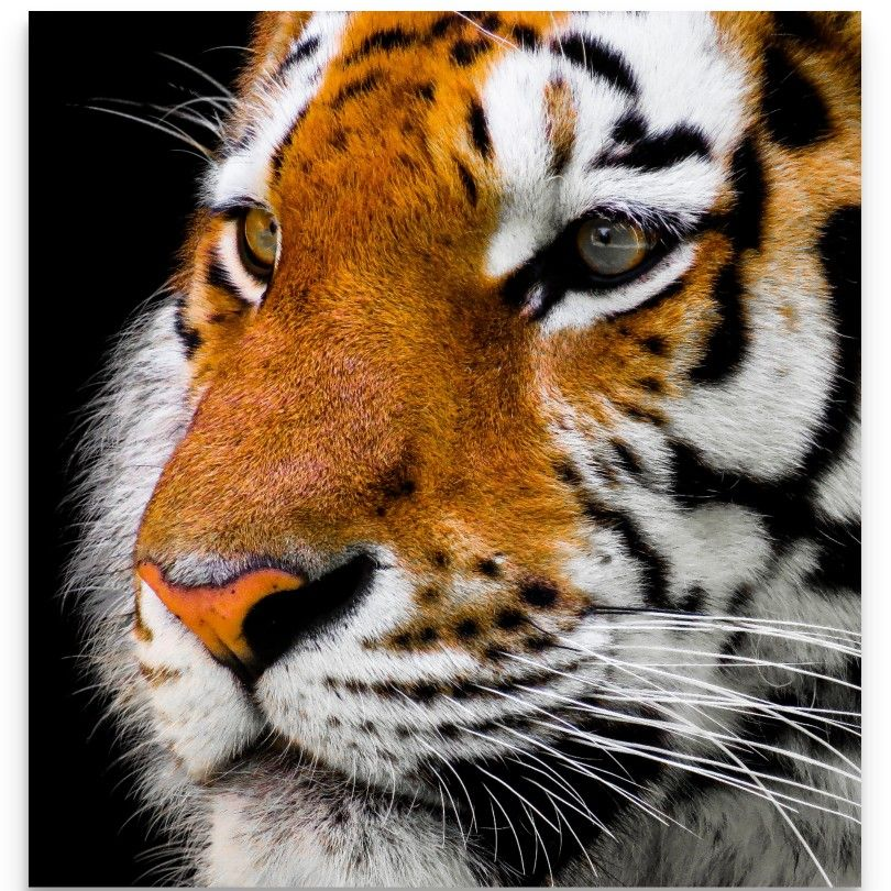 Tiger Wall Art , Tiger Wall Decor, Tiger Art, Photos of