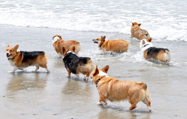 A day at the beach with the Corgi's ...