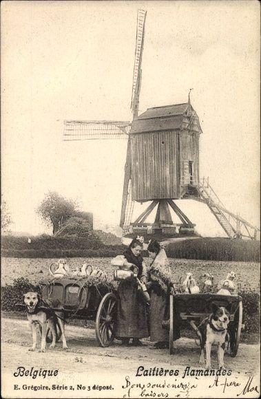Postcard Belgien, Laitières flamandes, Flämische Milchmädchen, Zughunde, Windmühle.  Postally used 1902