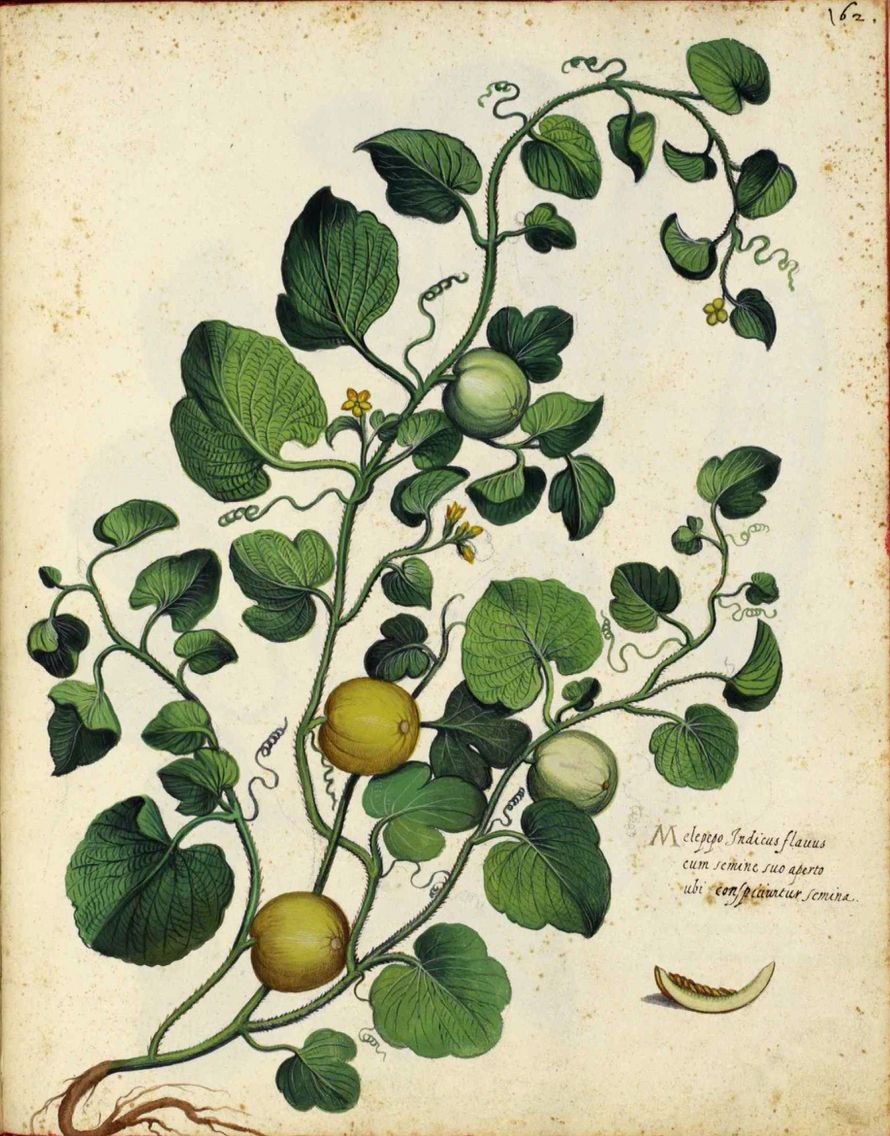 Melon vine botanical from Italian Fruits and Vegetables by Ulisse Aldrovandi