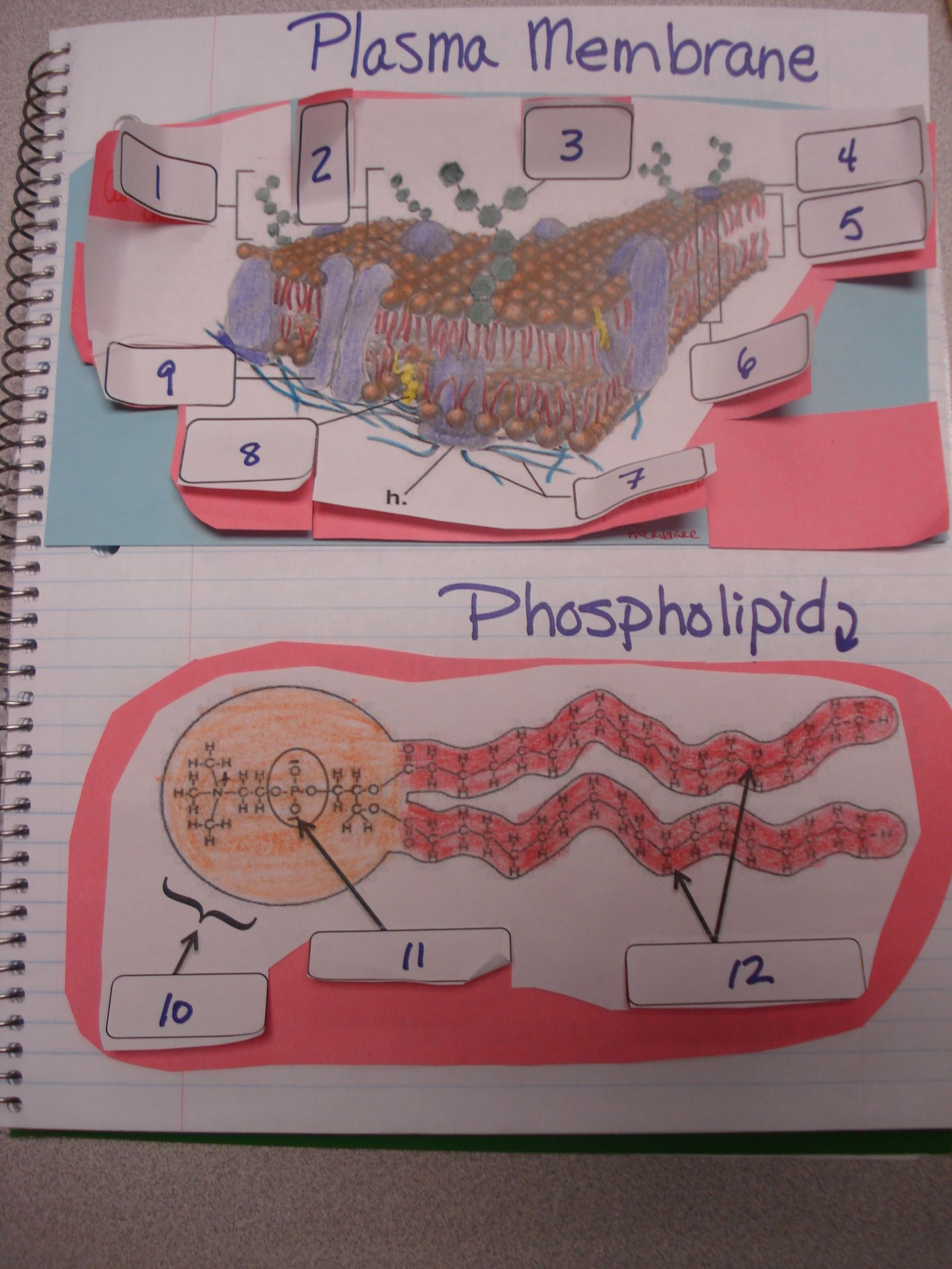 Osmosis Coloring Worksheet Google Search Biology Interactive Notebook Science Cells Biology Foldables [ 2048 x 1536 Pixel ]